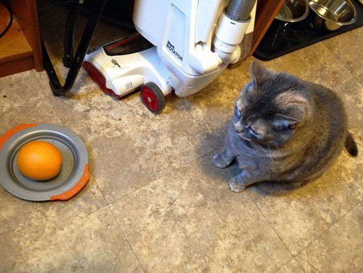 gato viendo una naranja