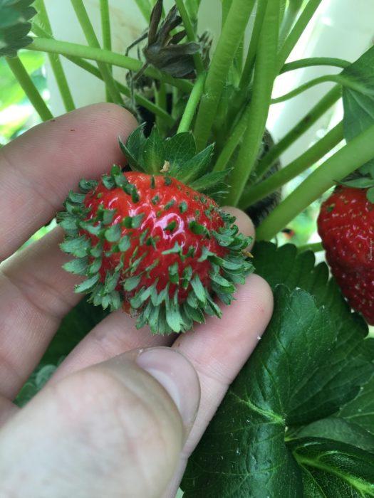 fresa con plantas saliendo de sus semillas