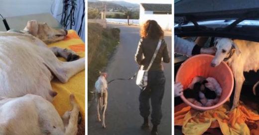 Esta perrita desnutrida y lastimada buscó ayuda para salvar a sus cachorros