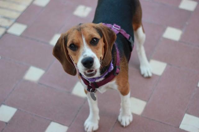beagle gruñiendo