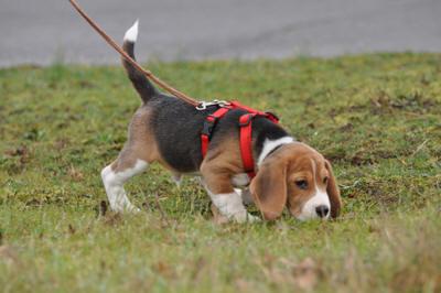 beagle d epaseo y oliendo