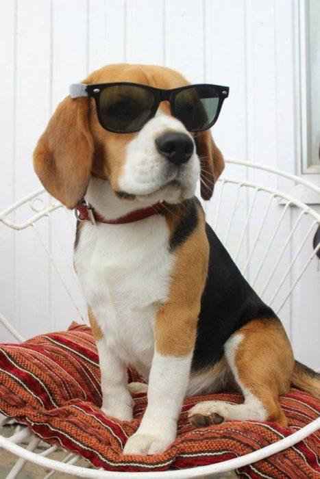 beagle con lentes