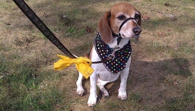 Beagle con bosal