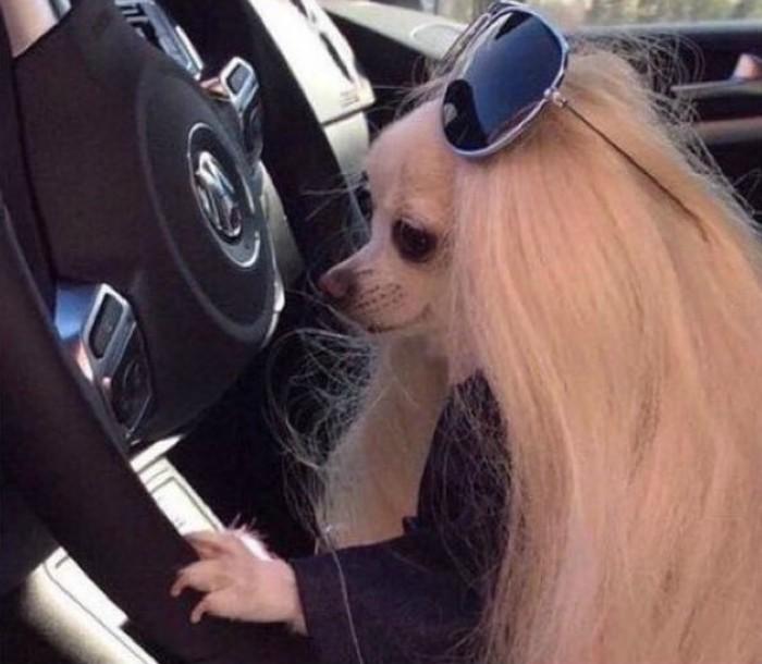 perro chihuahua con lentes en coche