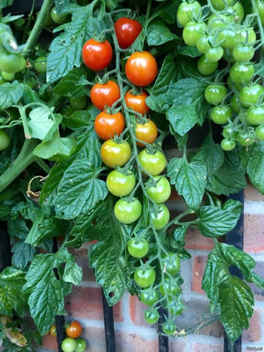 tomates degradados