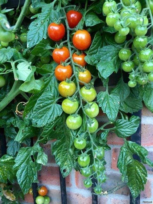 tomates degradados