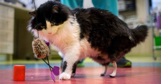 Gato volverá a caminar gracias a patas de titanio