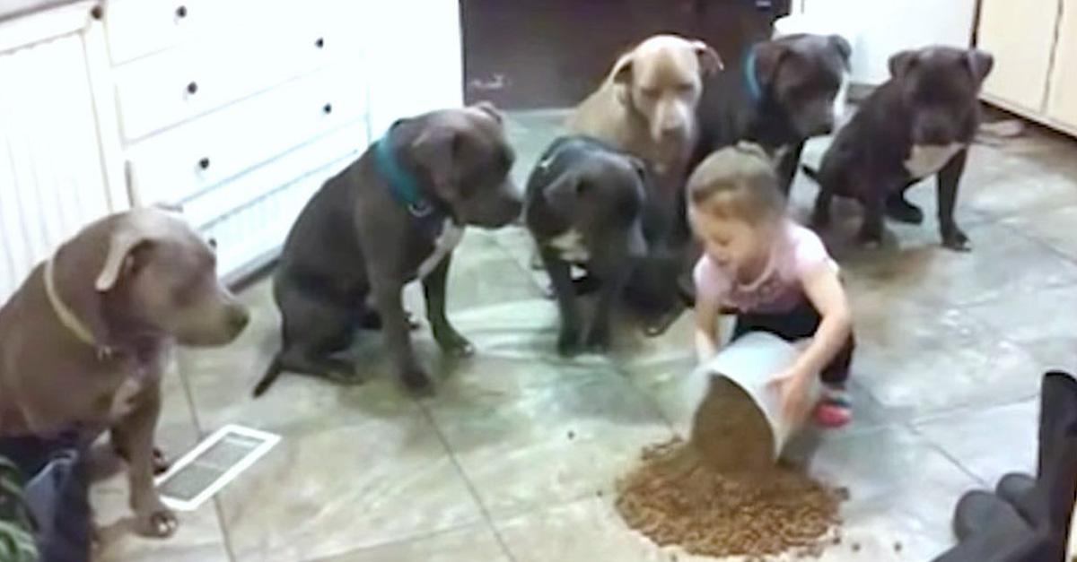 Esta niña alimentando a pitbulls derribará los prejuicios que tienes de ellos