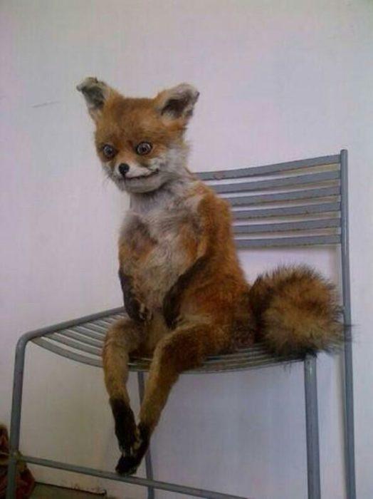 zorro sentado en una silla