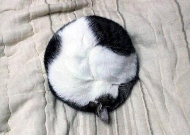 Gato recostado y hecho un circulo