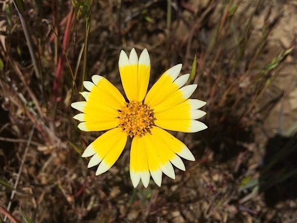 Flor blanca con un circulo formada por los colores de sus pétalos