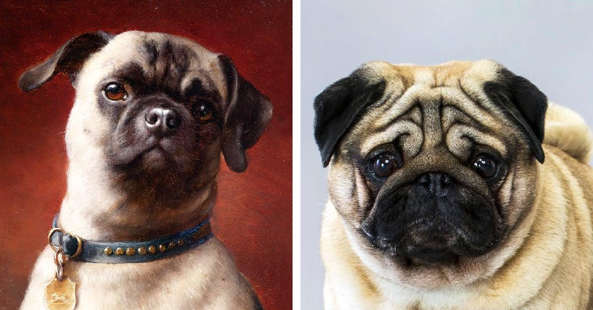 (C) Los pugs y la deformacion animal como capricho y egoismo humano