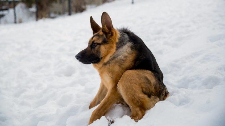 quasimodo perro joroba