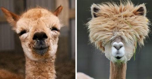 Imágenes de alpacas que te harán sonreír todo el día