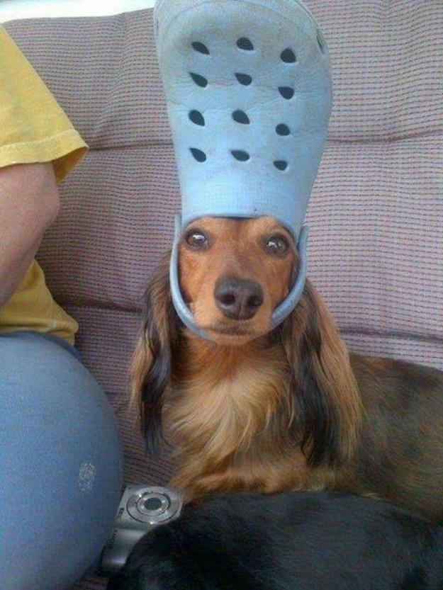 perrito con zapato en la cabeza