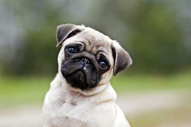 Pugs reflejo de la crueldad animal