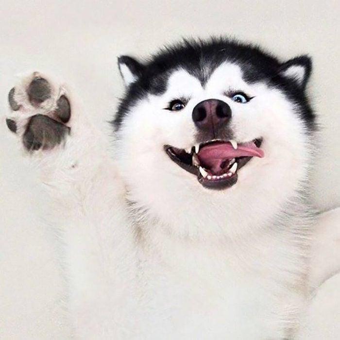 Perro husky sonriendo feliz