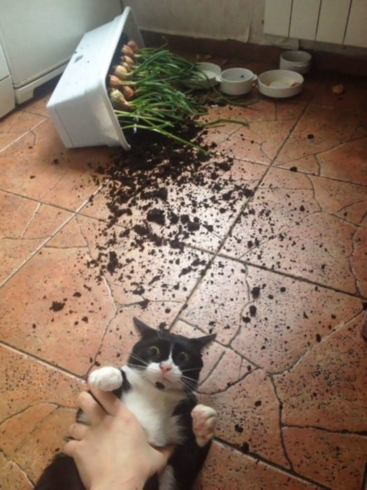 gato tiro la maceta