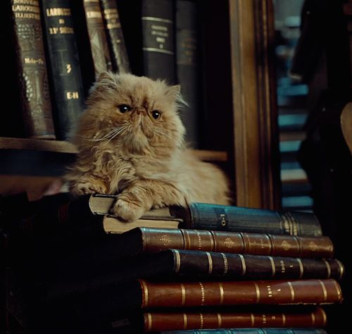 crookshanks gato harry potter