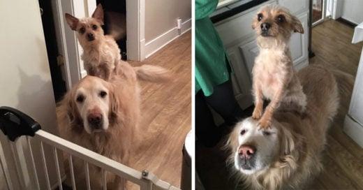 Conoce a Bella, la perrita que se acomoda en el lomo del perro Hank para lograr sus objetivos