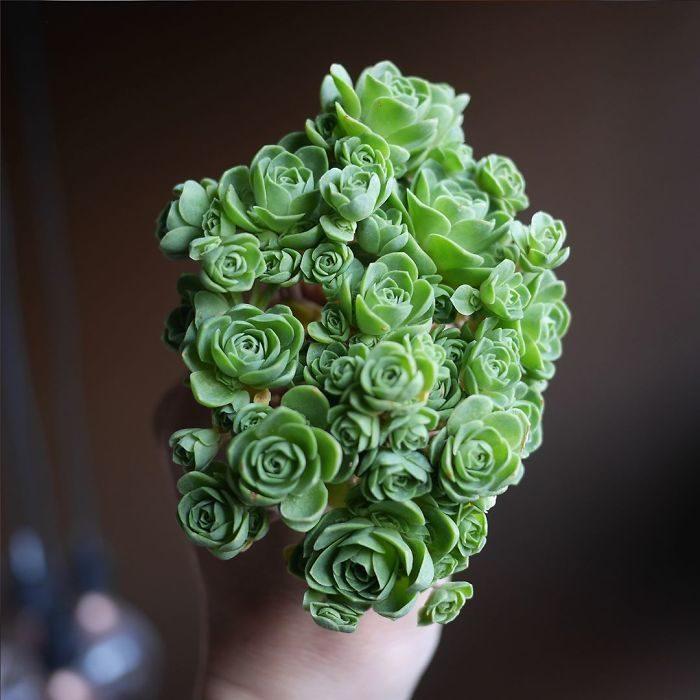 flores suculentas