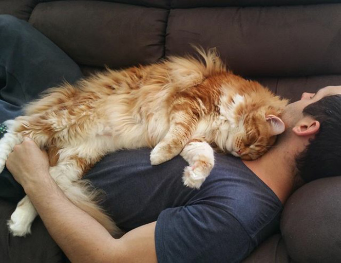 Gato australiano enorme