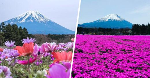 Imágenes de la ola rosa que invade Japón cada primavera
