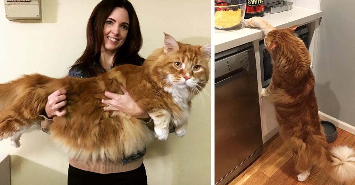 Creyeron haber comprado un diminuto gatito; pero creció hasta convertirse en el gato más grande del mundo