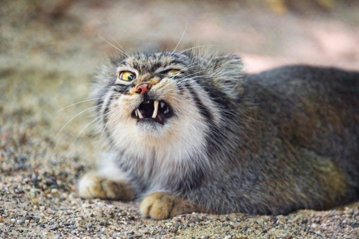 gato enojado 29