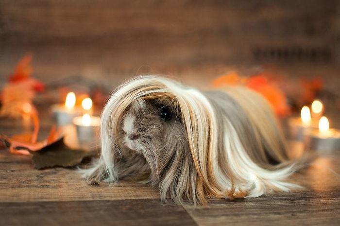 guinea pig 12