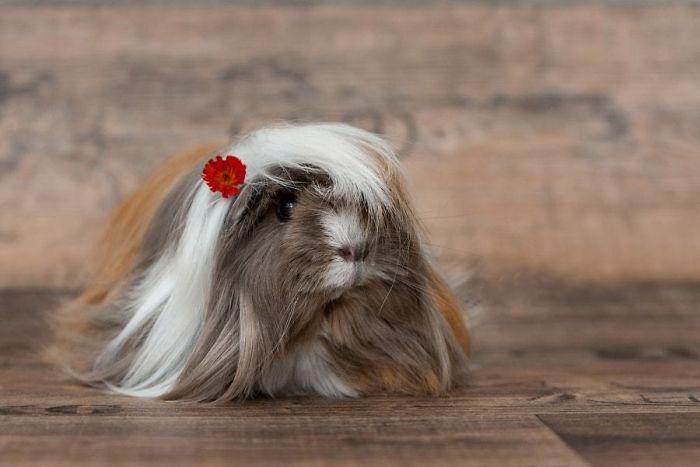 guinea pig 14