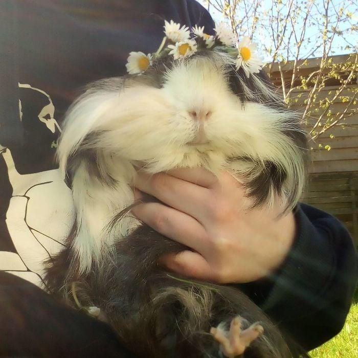 guinea pig 15