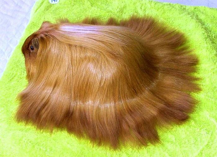 guinea pig 16