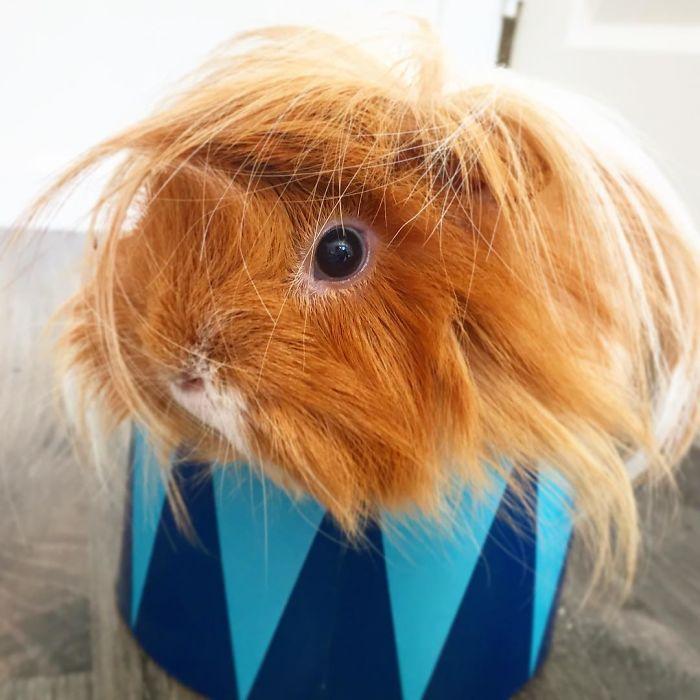 guinea pig 20
