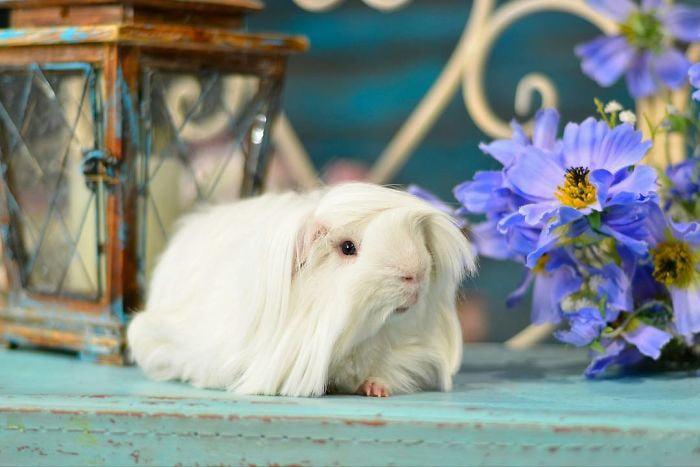 guinea pig 21