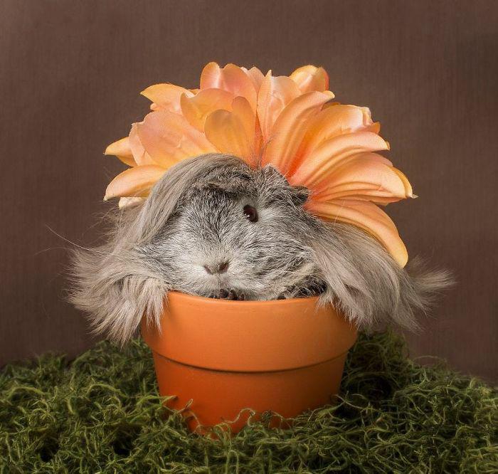 guinea pig 24