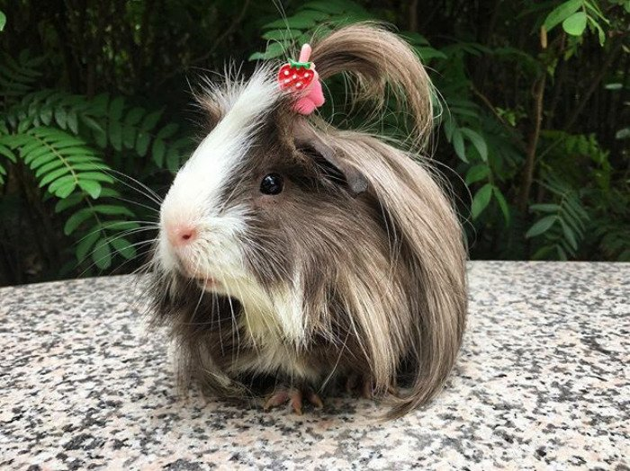 guinea pig 27