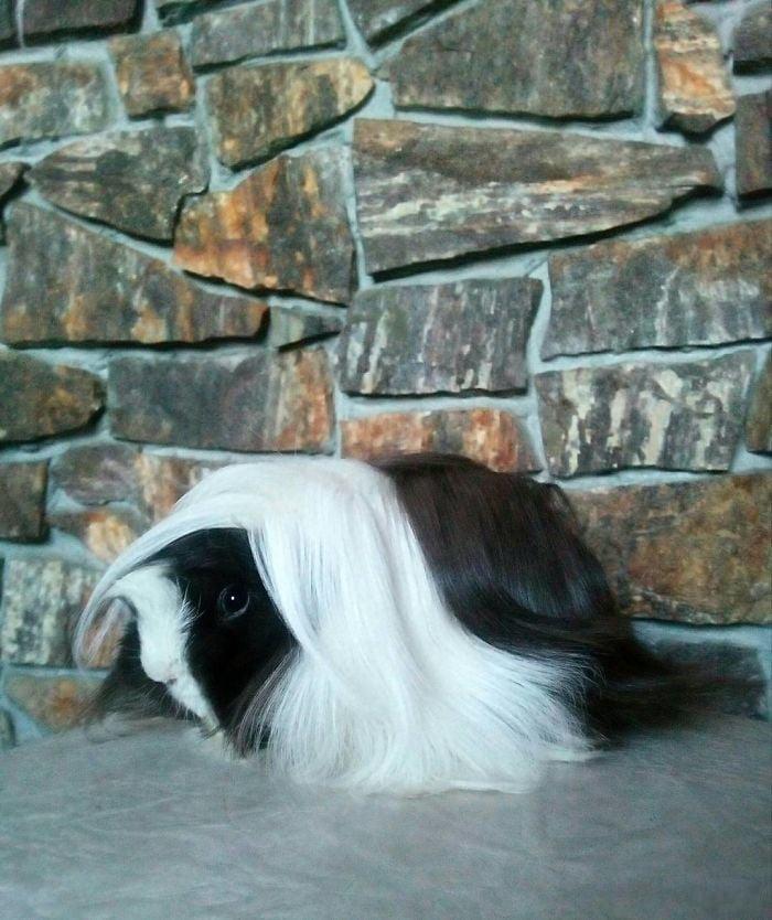 guinea pig 28
