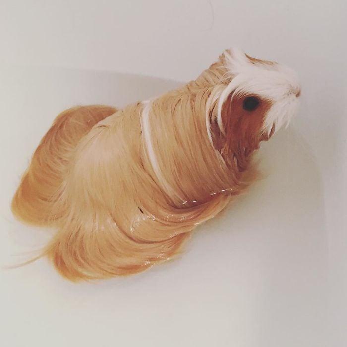 guinea pig 32