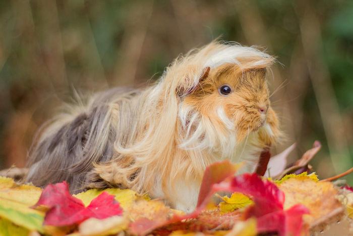 guinea pig 36