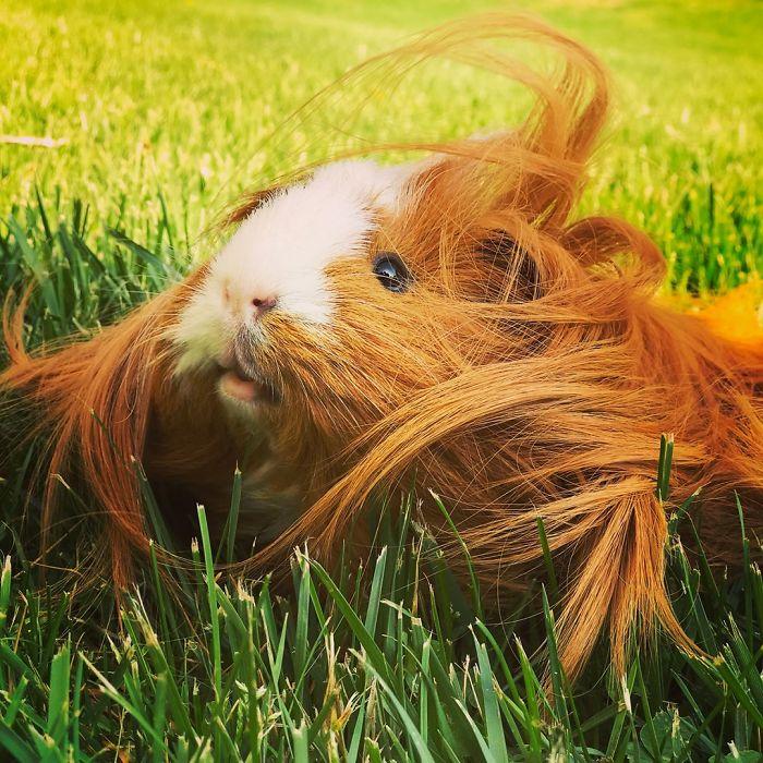 guinea pig 38