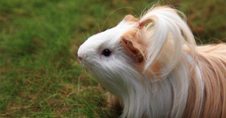 guinea pig 40