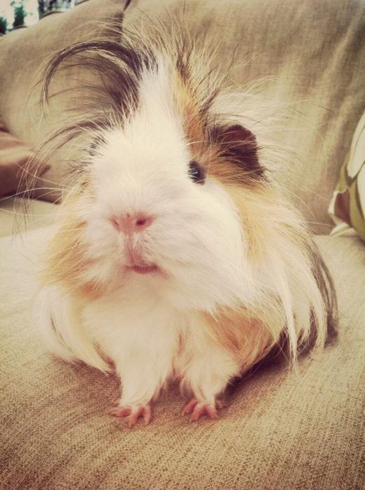 guinea pig 43