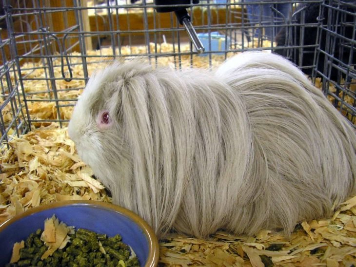 guinea pig 45