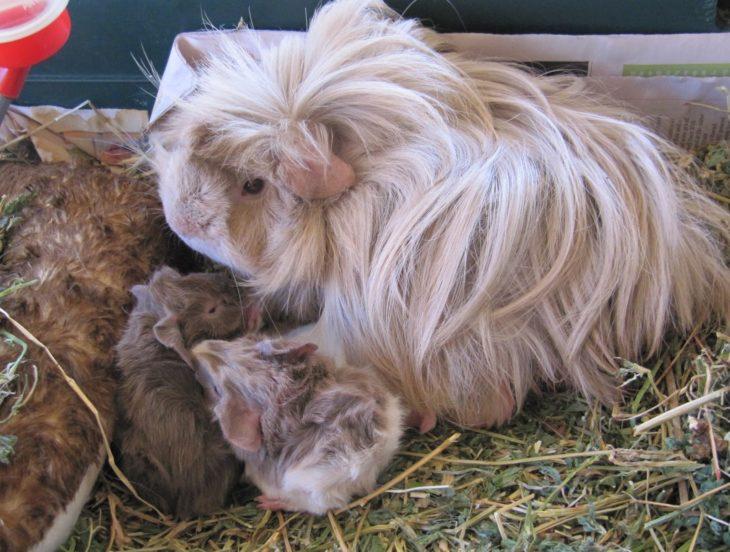 guinea pig 46
