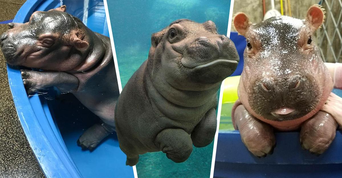 20 Fotografías de bebés hipopótamos que te derretirán el corazón