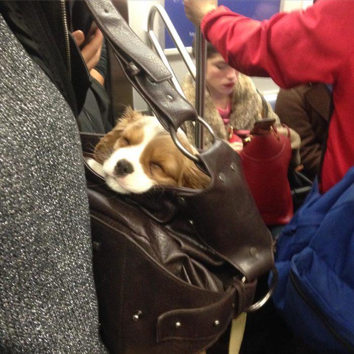 perro dormido en bolsa