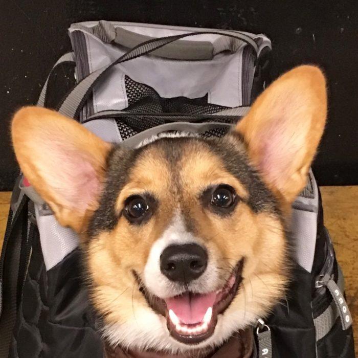 corgi feliz bolsa