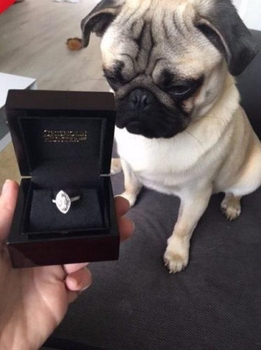perro y anillo de compromiso