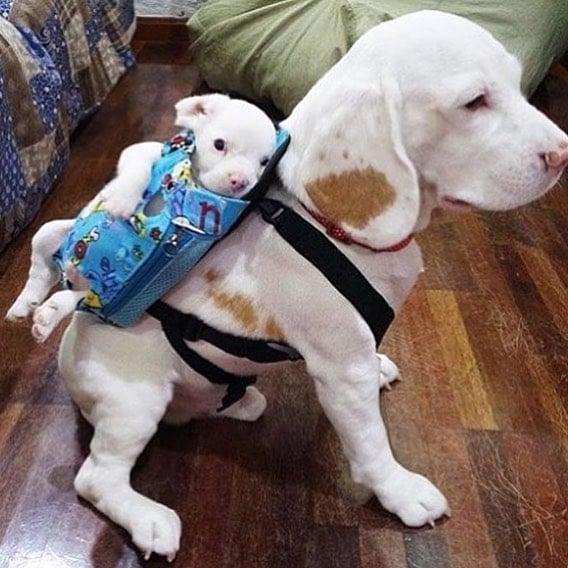 perro cargando perro